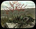 Aloe plants (3947976499).jpg