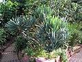 Aloe plicatilis - Botanischer Garten der Universität Würzburg.JPG
