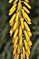 Aloe tenuior (Asphodelaceae-Xanthorrhoeaceae) (27157691291).jpg