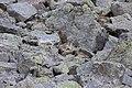 Alpine Marmot - Marmota marmota (15406879371).jpg