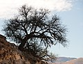 Alter Arganbaum Antiatlas.jpg