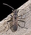 Alydus calcaratus MHNT Dos.jpg
