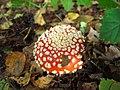 Amanita-muscaria-357.jpg