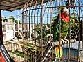 Amazona leucocephala -Isla de la Juventud, Cuba -round cage-8a.jpg