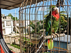 Cuban amazon - Pet in a small round cage in Cuba