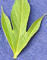 Ambrosia trifida 5437232.jpg