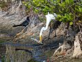 American Egret with Boat Tailed Grackle - Flickr - Rusty Clark.jpg