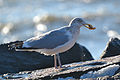 American Herring Gull (Larus argentatus smithsonianus) feeding on a Atlantic jackknife clam (Ensis directus) (16295005655).jpg