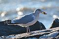 American Herring Gull (Larus argentatus smithsonianus) feeding on a Atlantic jackknife clam (Ensis directus) (16295005655).jpg