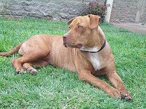American Pit Bull Terrier - Red brindle American pit bull terrier