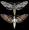 Amphonyx lucifer MHNT CUT 2010 0 67 Santa Catarina Brasil male.jpg