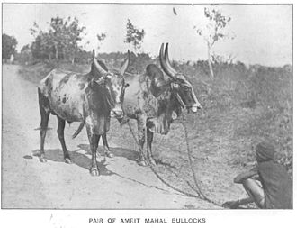 Amrit Mahal - Historical image of Amrit Mahal cattle