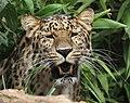 Amur Leopard 14 (48225240997).jpg