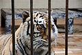 Amur Tiger.jpg