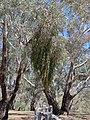 Amyema miquelii on Eucalyptus melliodora (23984200958).jpg