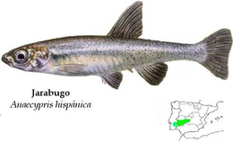 Anaecypris hispanica.png