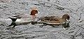 Anas penelope beijing.jpg