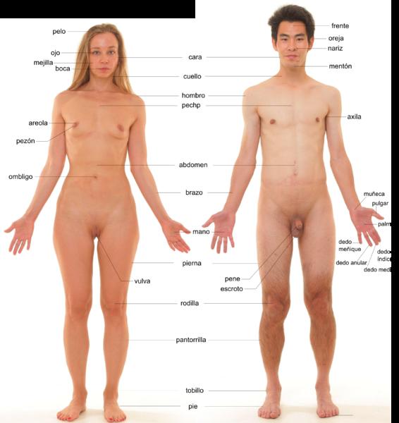 File:Anatomía humana - nuevo.png
