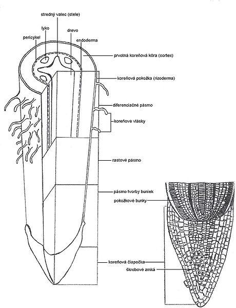 Soubor:Anatomy roots.jpg