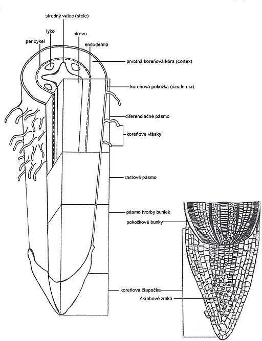 Anatomy roots