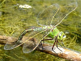 Anax imperator female.jpg