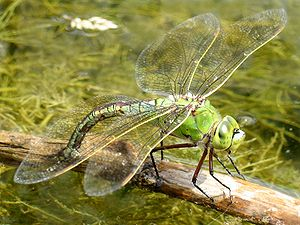 Emperor Dragonfly (Anax imperator), female laying eggs