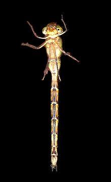 トンボの頭部・胸部・腹部(カトリヤンマ Gynacantha ... : 中1 英語 : 英語