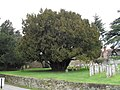 Ancient tree in the churchyard at St James, Stedham - geograph.org.uk - 1738802.jpg