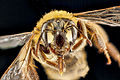 Andrena accepta face.jpg