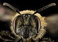 Andrena cornelli, F, Face, VA, Gales County 2014-01-24-18.28.58 ZS PMax (13043067883).jpg