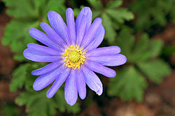 definition of anemone