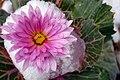 Angiosperms in iran گلها و گیاهان گلدار ایرانی 24.jpg