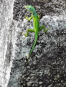 anole wiktionary