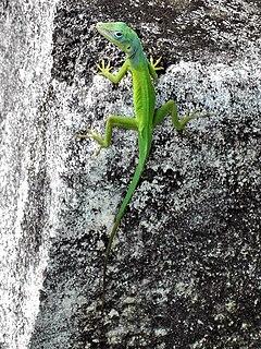 <i>Anolis marmoratus</i> species of reptile
