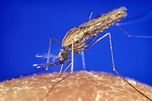 Anopheles gambiae, a thin-bodied nematoceran mosquito, and an important vector of malaria