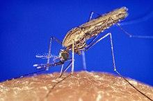 Muỗi A-nô-phen