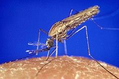240px Anopheles gambiae mosquito feeding 1354.p lores Malaria sprang vom Schimpansen auf den Menschen!