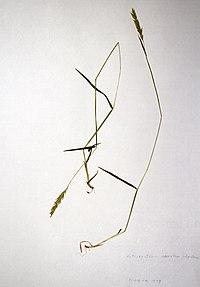Anthoxanthum odoratum BW-1979-0522-0479.jpg