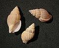 Antillophos lucubratonis.jpg