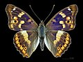 Apatura ilia f. clytie MHNT CUT 2013 3 18 Male compiegne dorsal.jpg