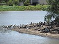 Apex Park, Gatton, waterbirds 02.jpg