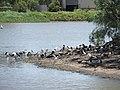Apex Park, Gatton, waterbirds 02.jpg