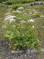 Apiaceae - Laserpitium siler.JPG