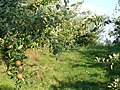 Apple Orchard by Holton Farm - geograph.org.uk - 227528.jpg