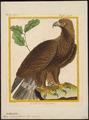 Aquila chrysaëtos - - Print - Iconographia Zoologica - Special Collections University of Amsterdam - UBA01 IZ18100175.tif