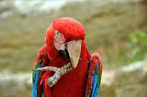 Dactyly - A green-winged macaw has raised its right foot to its beak.