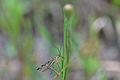 Araignées, insectes et fleurs de la forêt de Moulière (Les Chirons Noirs) (28426178923).jpg