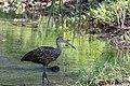 Aramus guarauna (Limpkin) 41.jpg