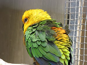 Southern Nevada Zoological-Botanical Park - Image: Aratinga jandaya Las Vegas Zoo