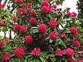 Arbol de azaleas - Rhododendron arboreum (13086040383).jpg